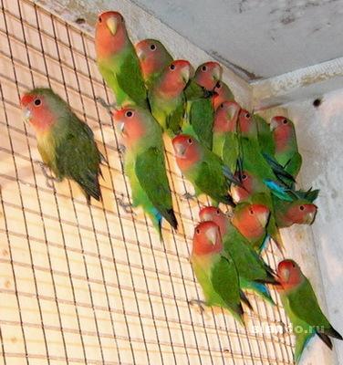 Как размножить попугая в домашних условиях